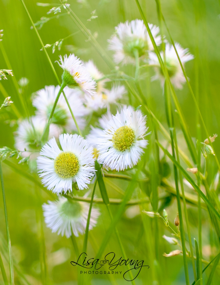 Dandelions, Taraxacum