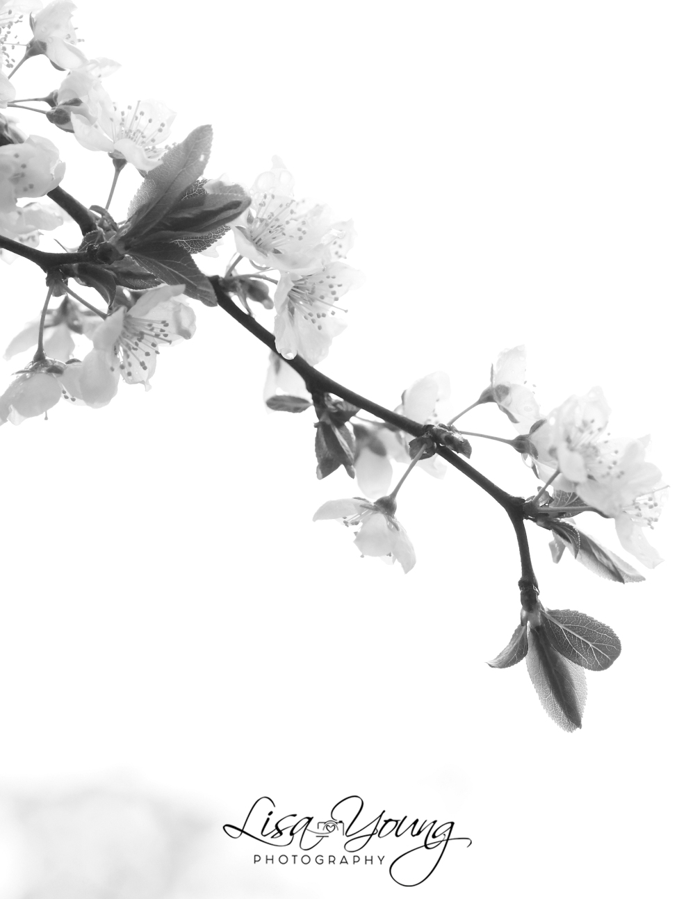 Black & White Cherry Blossoms